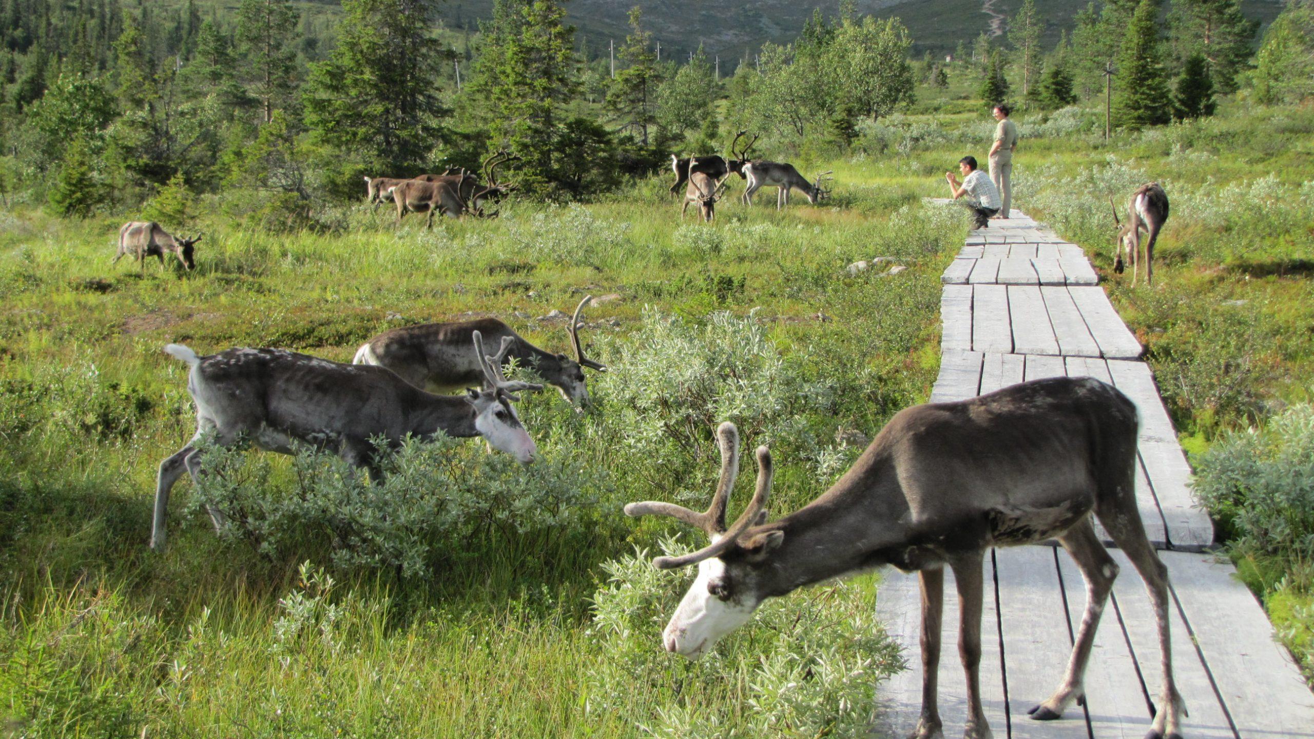 pallas reindeer peatland finland