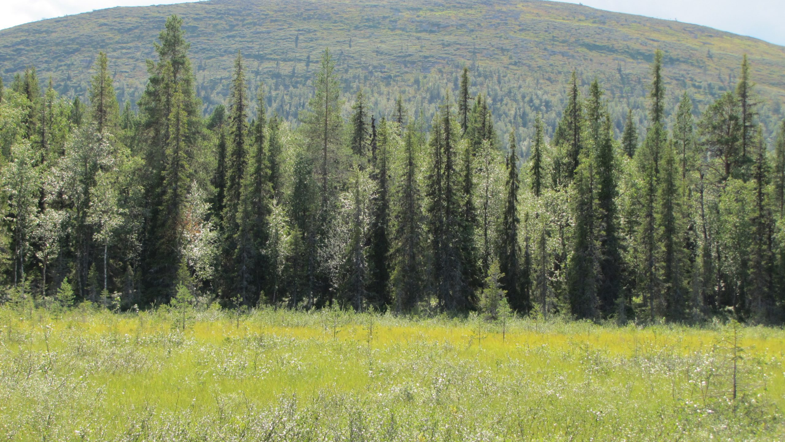 forestry pallas peatland