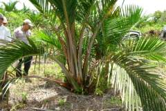 sago-palm - PEATLAND MANAGEMENT IN SOUTH EAST ASIA